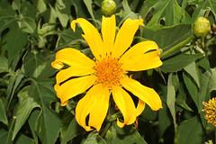 Euryops (Bush Daisy) - Isunga, Uganda (Nick Dean1) Tags: euryops bushdaisy kibale isunga uganda flower plantae wildflower bloom blossom