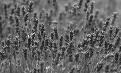 Depth Of Summer (AnyMotion) Tags: englishlavender echterlavendel lavandulaangustifolia lavendel blossom blüte petals blütenblätter bokeh plants pflanzen 2018 floral flowers botanischergarten frankfurt anymotion bw blackandwhite sw 7d2 canoneos7dmarkii summer sommer été verano zomer estate