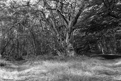 Woodlands at Calderwood (John Campbell 2016) Tags: calderwood countrypark almondellcountrypark woodlands woodlandpath blackandwhite black and white blackandwhitephotography blackandwhitetrees trees beautifultoldtree canon1300d canoncamera canon camera scotland scottishwoodlands