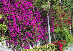 Flora Of Jamaica (Performance Impressions LLC) Tags: floraofjamaica flora flowers ochorios saintann jamaica sea ocean water tropical caribbean travel vacation tourism island coast oceanfront beach coastal resort hotel luxury nature plants bushes trees jm