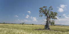 Olive Tree (DC P) Tags: parco naturale regionale dune costiere puglia italy olive grove tree ancient trees nature field wide farming cloud clouds sky grassland serene adventure a7rii beautiful color fantastic landscape ngc outdoor pov panorama paradise travel view golden glow park yellow old outside hiking