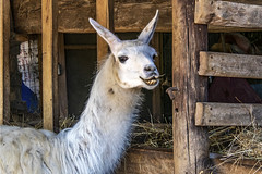 Cheeeeeeze! (jmhutnik) Tags: llama heritagefarmmuseumandvillage huntington westvirginia august summer teeth ears fur animal barn wood hay