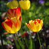 tulips-5260122 (E.........'s Diary) Tags: eddie ross olympus omd em5 mark ii spring 2018 flowers garden