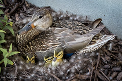 Mama #2 - ducklings hatched (C7D5858) (matxutca (cindy)) Tags: outdoors ducklings nature mallard female mom birth hatched babies family