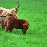 Cows 5 thumbnail
