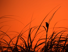 Seaside Sparrow (arlene sopranzetti) Tags: thompson beach heislerville nj seaside sparrow silhouette sunset marsh delaware bay