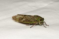 Hemiptera, Cicadidae sp. ♂ (Giant Forest Cicada) - Isunga Uganda (Nick Dean1) Tags: animalia arthropoda arthropod hexapoda hexapod insect insecta hemiptera cicadidae cicada uganda kibalenationalpark