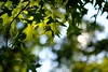 Northern Red Oak Forest (l i v e l t r a) Tags: redoak forest leaves green summer northern shadows sunshine f14 natural sunny light