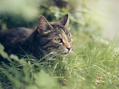 lurking_for_prey (Joerg Esper) Tags: bokeh cat katze green grün gras animal pet tier haustier olympus olympusomdem10markii olympusmzuikodigitaled75mm118