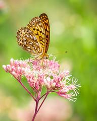 Papillon (Yves Gauvreau) Tags: macro flowers butterfly world100f