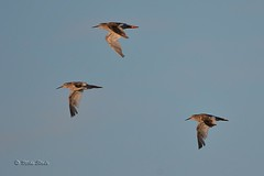 Redshanks (Mike Slade.) Tags: redshank tringatotanus bird wader flight thorneyisland emsworth hampshire ©mikeslade