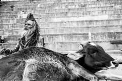 Coexistence-DSC_7559 (thomschphotography3) Tags: s sadhu saddhu cow animal india asia varanasi benares blackandwhite monochrome streetphotography religion prayer man hindu hinduism