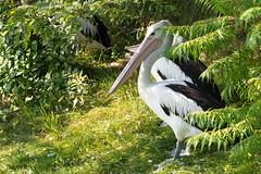 Pelican (f6gkd) Tags: pelican parcoiseaux villarsdesdombes bird nikon d5500 nikond5500 park plume dombes ain