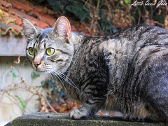Eyes Wide Open (Little Queen Gaou) Tags: cat chat félin photographie photography wild sauvage nature animaux animal animals garden jardin hunt chasse hunter chasseur inspiration beautiful
