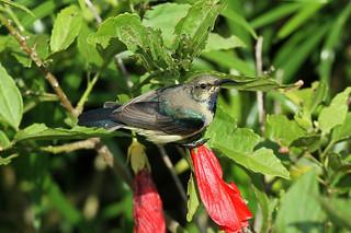 Cinnyris venustus ♂ (Variable Sunbird) - Isunga, Uganda .