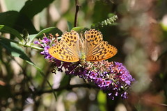 Silver-washed fritillary (roger_forster) Tags: silverwashedfritillary argynnispaphia westsussex southdowns royaloak hooksway butterfly insect