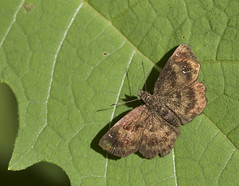 Hayhurst's Scallopwing 4 (brian.magnier) Tags: new jersey nature wildlife animals outdoors