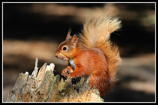 IMG_0007 Red Squirrel