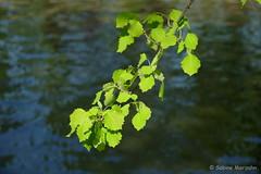 Riverside (Sockenhummel) Tags: leaves zweig ast wasser kanal ufer baum bokeh sommer fuji xt10 blätter landwehrkanal