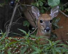 072918148794asmweb (ecwillet) Tags: deer fawn nikon nikond500 nikon200500f56 wildwoodparkharrisburgpa ecwillet ericwillet