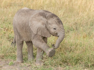 Elephant Calf - Loxodonta africana