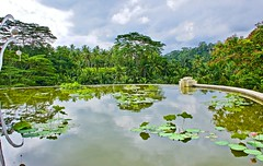 Rooftop lotus pond @ Four Seasons Bali (somabiswas) Tags: fourseasons bali ubud indonesia sayan rainforest lotus pond nature travel