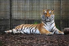 Amur Tiger, Whipsnade Zoo, United Kingdom (Daryl Chapman Photography) Tags: tiger cat zoo canon 5d mkiii 70200l uk unitedkingdom amurtiger holiday visit londonzoo whipsnadezoo pantheratigristigris