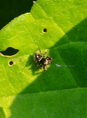 Arachnids in the yard (REGOR NOTPUL) Tags: arachnids spiders jumping bold bronze flower crab glenburnie ontario