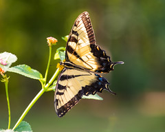 Swallowtail (vtcollins) Tags: swallowtail butterfly yellow blue golden hour bokeh northcarolina macro nature wings transparent backlight