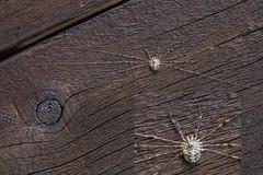 Dicranopalpus ramosus (Derek.P.) Tags: opiliones harvestman dicranopalpusramosus potteric arachnida