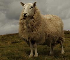Proud Dolly, well, maby not. (J. Roseen) Tags: sheep ewe penyfan beggar wool hair wales wales2018 eos7dmkii ef2470mmf28l outdoors lamb