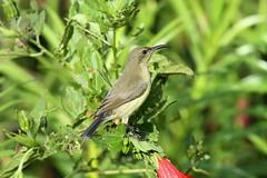 Cinnyris venustus ♀ (Variable Sunbird) - Isunga, Uganda (Nick Dean1) Tags: animalia chordata aves passerine passeriformes kibalenationalpark kibale uganda isunga sunbird variablesunbird cinnyrisvenustus cinnyris
