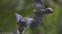 2- LA DANZA DEL AMOR!!Y ahí está el enamorado pidiéndole a la esperanza que su pecho no se inunde con el llanto de su tiempo.(Santiago Feliu 1,962-2,014) (Cimarrón Mayor 14,000.000. VISITAS GRACIAS) Tags: ordencolumbiformes familiacolumbidae zenaidaauriculatacaucae machoyhembraencortejo zenaidatorcaza tórtolatorcaza tórtolaorejuda palomitamontera macho protónimozenaidaauriculatacaucae nombreeningleseareddovemaleandfemale lugardecapturafincaelensueño quindío colombia ave vogel bird oiseau paxaro fugl pássaro птица fågel uccello pták vták txori lintu aderyn éan madár cimarrónmayor panta pantaleón josémiguelpantaleón objetivo500mm telefoto700mm 7dmarkii canoneos canoneos7dmarkii naturaleza libertad libertee libre free fauna dominicano pájaro montañas