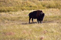 Bisons near the trail (MarkusR.) Tags: mrieder markusrieder nikon d7200 nikond7200 vacation urlaub fotoreise phototrip usa 2017 usa2017 southdakota custerstatepark landscape landschaft natur nature animals wildlife tiere bison coldbrookcanyontrail trail hike wanderung