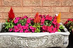 DSC_0908 Celosia plumose & Busy Lizzie (PeaTJay) Tags: nikond750 reading lowerearley berkshire macro micro closeups gardens outdoors nature flora fauna plants flowers celosiaplumosa busylizzie