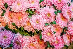 A Bunch of Dahlia's (hasjhasj1) Tags: bloemen dahlia
