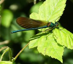 Demoiselle (StJohn Smith1) Tags: closeups insects libellulae fragonflies damselflies demoiselles garden visitors pondside