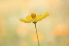 dans la chaleur de l'été (christophe.laigle) Tags: christophelaigle fleur macro nature flower fuji jaune xpro2 xf60mm yellow