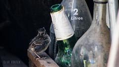 Chincol Babies (Club Vortex) Tags: chincol ave aves avesdechile animal artistic animales bird birds beauty beautyfull nature naturaleza wild wildlife world life chile canon canont5 chilean quillota quintaregion viñadelmar valparaiso