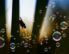 blowing lots of bubbles! (marianna_armata) Tags: sliderssunday fly blowing bubbles funny silly composite photoshop mariannaarmata macro instect