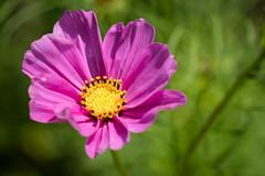 Friday's Flower Power (MR@tter) Tags: kosmee blumen flower flowers cosmea canonef100mm canon ef100mm f28 macro usm