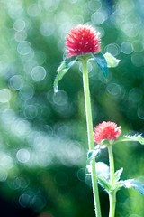 OMD09379 (Keishi Etoh rough-and-ready photoglaph) Tags: olympus omd em1 olympusomdem1 microfourthirds meyeroptikgörlitzdomiplan50mmf28 100mm meyeroptik domiplan mf manualfocuslens primelens fixedfocallengthlens oldlens m42 単焦点 中望遠 flower