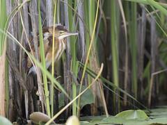 Least Bittern (AmandaWilmarth) Tags: bittern nature least bird watching birding birds water marsh photography kayaking
