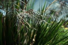 DSC04413- Leaves (oliveplum) Tags: minoltarokkorf1450mm gardensbythebay leaves singapore sony bokeh
