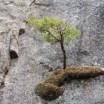 Sapling from Granite thumbnail