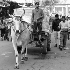 new delhi 2017 (gerben more) Tags: cow streetscene streetlife street man india blackwhite monochrome