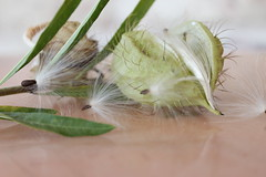 spring is in the air (Jeannine DW) Tags: macro nature seeds garden pods spring australian native plants