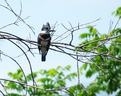 Belted Kingfisher (loveshobbits25) Tags: birds waterbirds pondlife