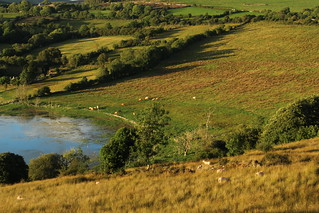 Cattle and sheep grazing by shore of Lough Colgagh, Sligo, Ireland