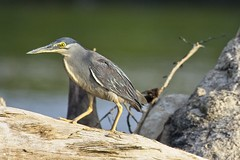 Striated Heron (christopheradler) Tags: malaysia borneo straited heron butorides striata little